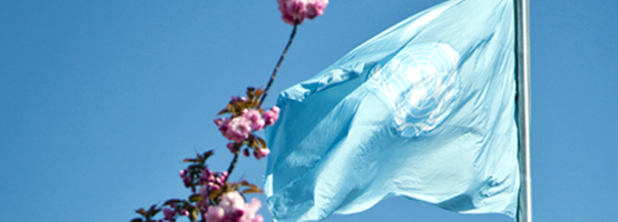 The UN flag and cherry blossoms